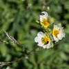 Sticky Cinquefoil - Drymocallis glandulosa