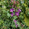 Fireweed - Chamerion angustifolium