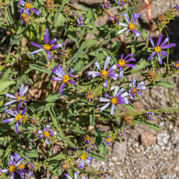 Thick-stemmed Aster - Eurybia integrifolia