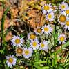 Alpine Fleabane - Erigeron peregrinus