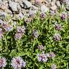 Mountain Coyote Mint - Monardella odoratissima
