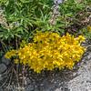 Golden Aster - Heterotheca villosa