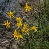 Broadleaf Arnica - Arnica latifolia