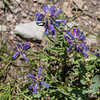 Sierra Penstemon - Penstemon heterodoxus