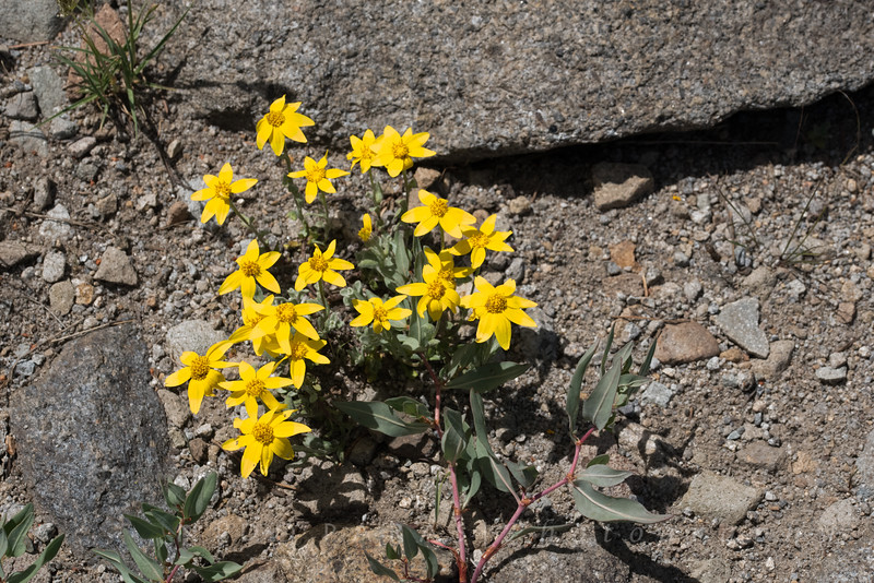 Woolly Sunflower - Eriophyllum lanatum