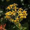 Sierra Ragwort - Senecio scorzonella