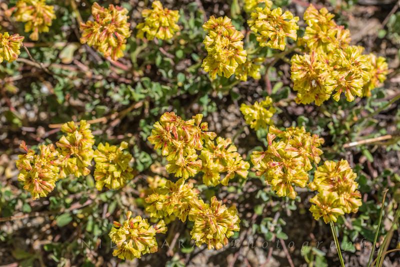 Frosted Wild Buckwheat - Eriogonum incanum