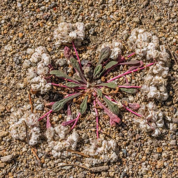 One-seeded Pussypaws - Calyptridium monospermum
