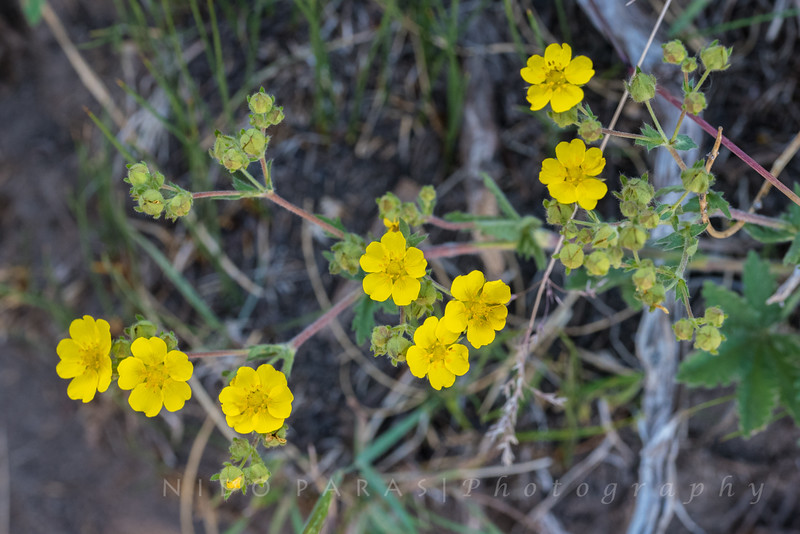 Mountain Meadow Cinquefoil - Potentilla glaucophylla