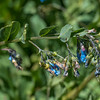 Tall Fringed Bluebells - Mertensia ciliata