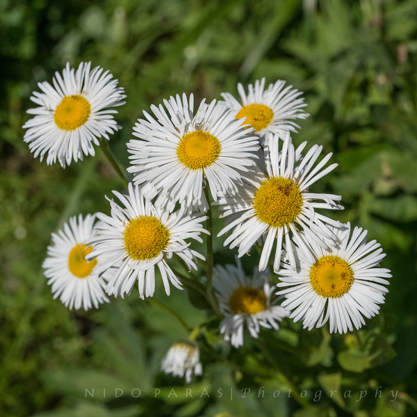 Large Mountain Fleabane - Erigeron coulteri