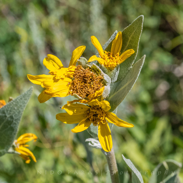 Mountain Mule Ears - Wyethia mollis