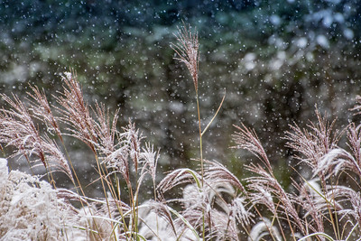 1610_Snow on tall grasses_019