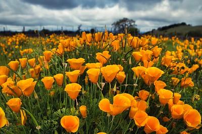 Golden Poppies at Roberts Road Vineyard