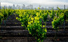 Young Vines