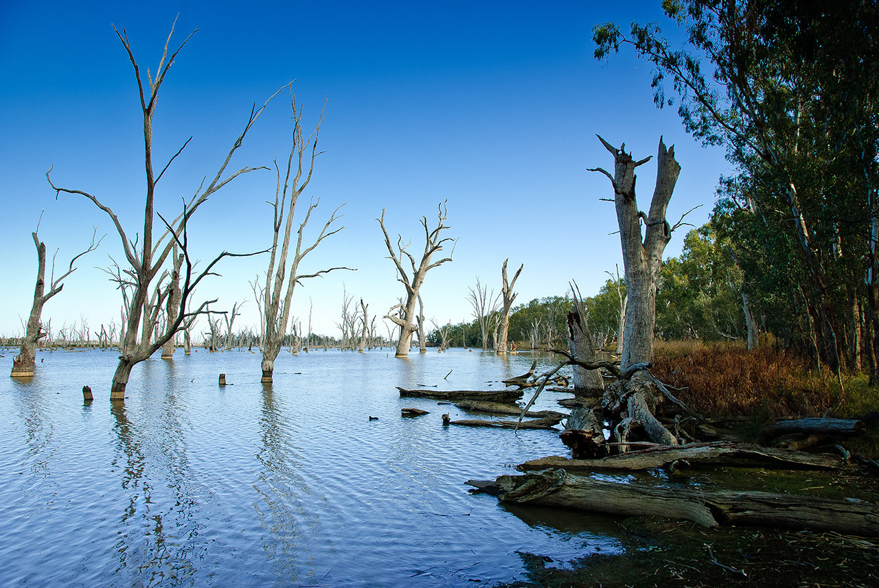 Dead river gums on the Murray