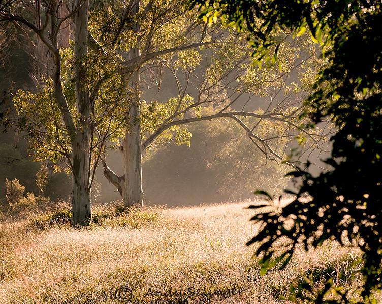 Early morning light on grassland, Midginbil.