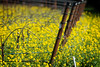 Wild Mustard - 4 Corners Vineyards