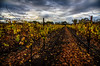 Fall in the Vineyards, 11/21/13
