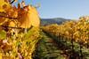 Roberts Road Vineyard Fall Colors, 11/8/10