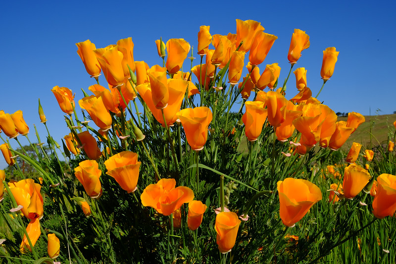 California Poppies (Roberts Road Vineyard)