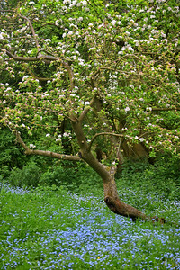 Apple blossom and forget-me-nots in Cross O'Cliff orchard