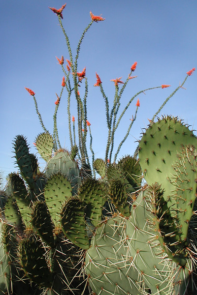 TALL OCOTILLO  SPINES SURROUNDED WITH PRICKLY PEAR