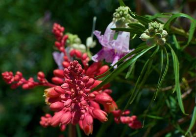 RED YUCCA - flowering