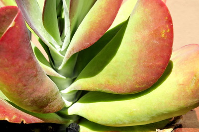 KALANCHOE THYRSIFLORA - fleshy succulent red leaves