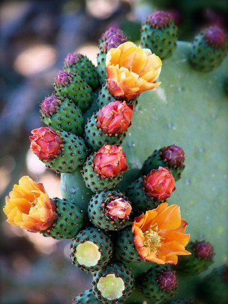 BEAVERTAIL CACTUS FLOWERS IN THE SPRING