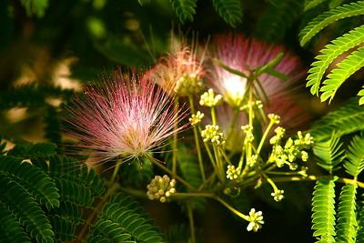 MIMOSA tree blossom.