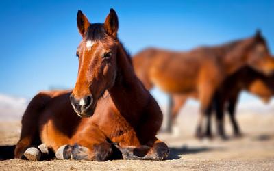 Wild Mustang Laying Down