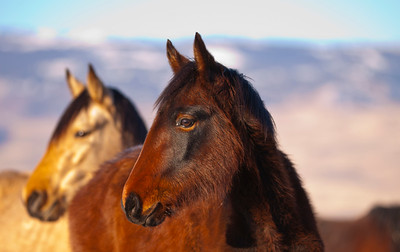 Two Wild Mustang Horses