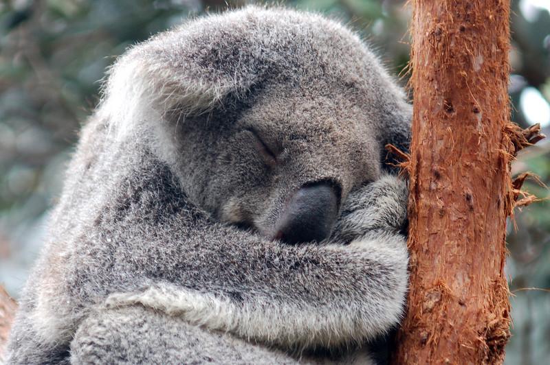 Koala - Taronga Zoo - Sydney, Australia