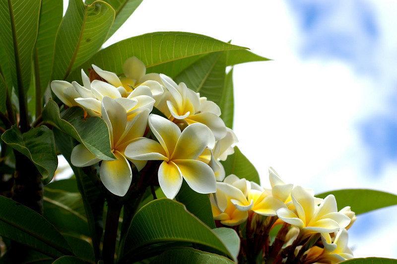"""To live in this world you must be able to do three things: to love what is mortal; to hold it against your bones knowing your own life depends on it; and, when the time comes to let it go, to let it go."" Blackwater Woods<br /> <br /> Australian Frangipani"