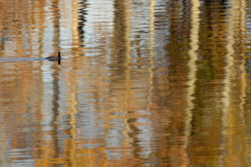 Duck amidst reflections