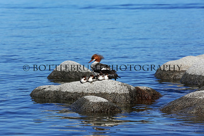 Common Merganser and her young at Lake Tahoe.