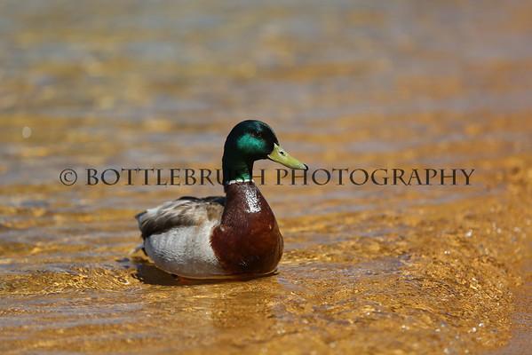 Mallard duck enjoying the water in Lake Tahoe.