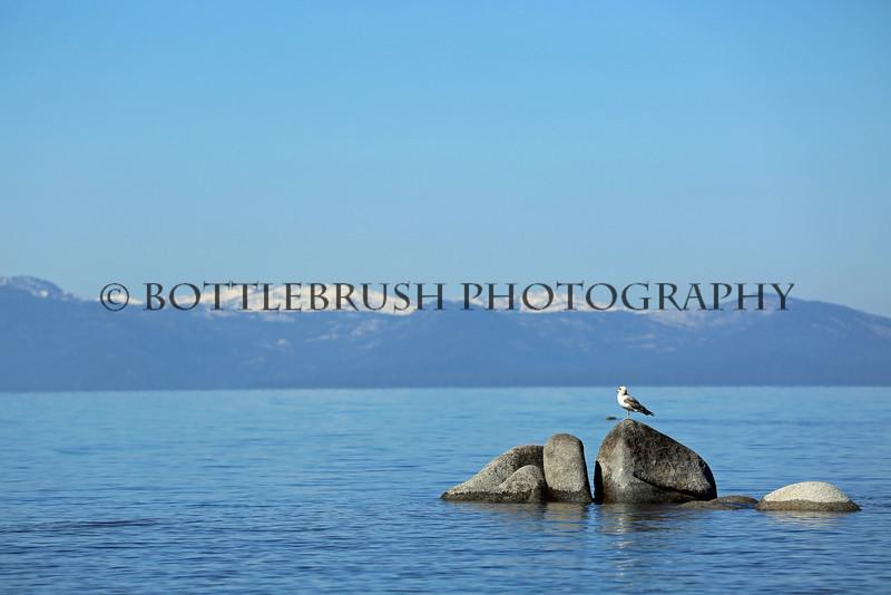 Bird standing on the rocks in Lake Tahoe.