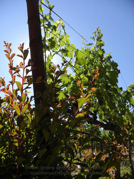 Vines aglow 2