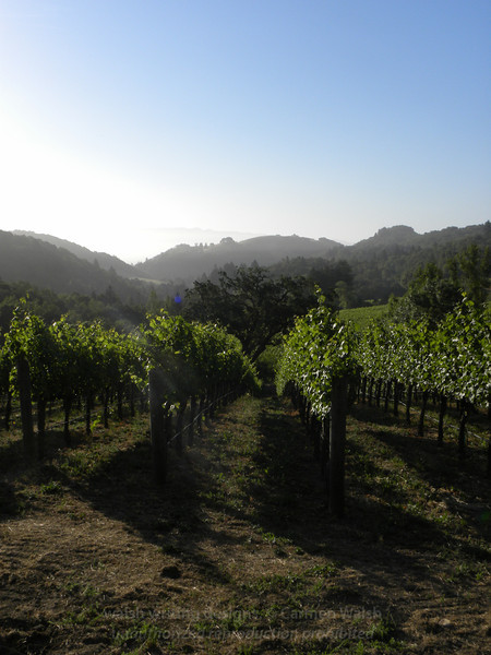 Vineyard forest 1