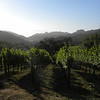 Vineyard forest 1