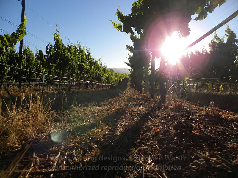 Vineyard morning sunglare