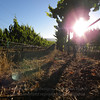 Vineyard morning sunglare