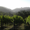 Vineyard forest 2