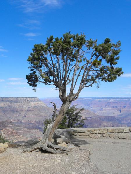 Grand Canyon South Rim tree