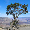 Grand Canyon South Rim tree