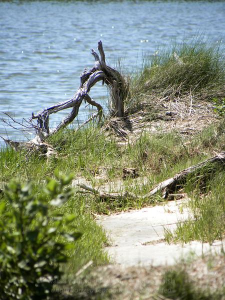 Assateague driftwood path