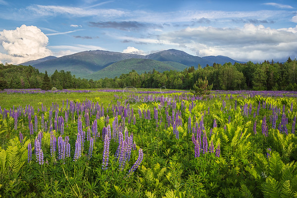 Lupines and Ferns