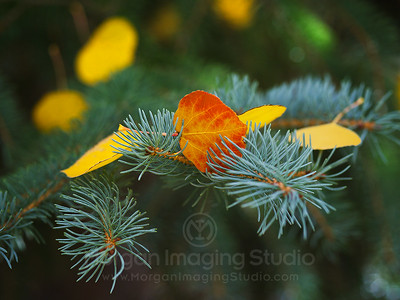 An Aspen Colored Engelmann Spruce